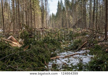Forestry. Image of coniferous forest after felling