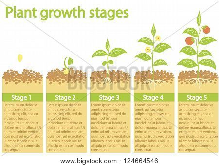 Plants growing illustration. Plants growing infographic. Plants growing process. Plants growth stages.Plants growing. Plants growing from seed to fruits. Gardening process. Timeline of plant growing.