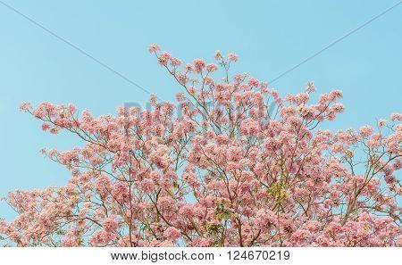 Pink trumpet tree or pink Tabebuia flower in blue sky