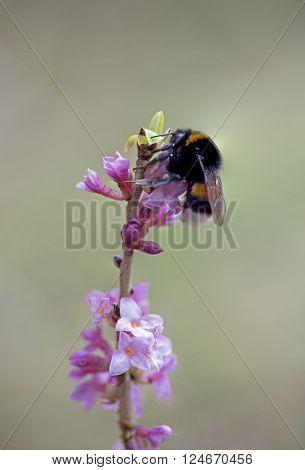 bumblebee on pink blooming daphne twig - toxic plant selective focus. ** Note: Shallow depth of field