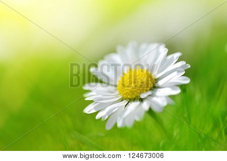 Daisy flower in grass. Soft focus. Natural background.