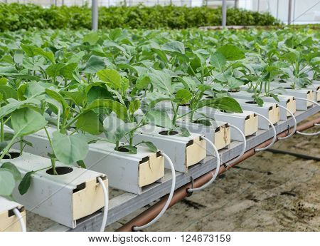 Hydroponic Chinese broccoli or Chinese kale vegetables plantation