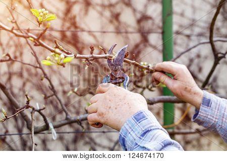Old man hands prune branch outdoor in sunrise