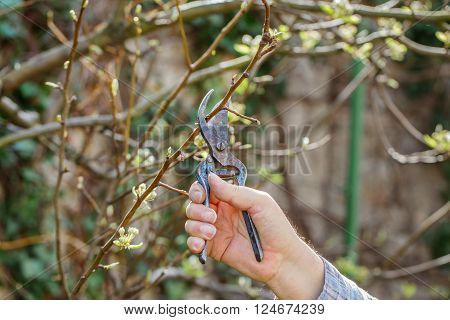Man prune branch at spring outdoor at spring