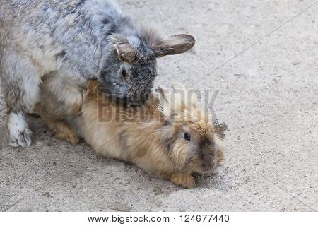 two beautiful gray copulating a rabbit in clear day