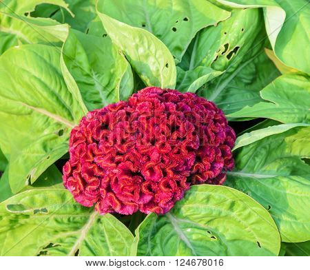 Red Cockscomb flower or Celosia cristata flower close up top view image
