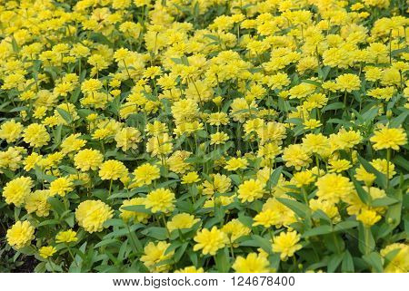 Yellow Zinnia elegans flower in full bloom ** Note: Soft Focus at 100%, best at smaller sizes