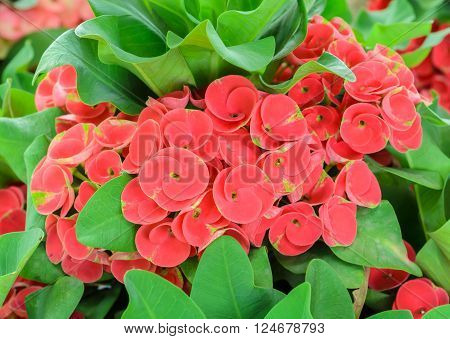 Red flower of Euphorbia milii or Crown of Thorns plant