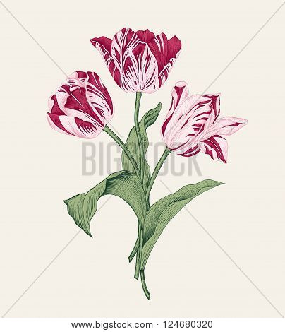 Bouquet of three pink tulips on gray background. Vector vintage element for design in the style of European botanical illustrations of the 19th century.