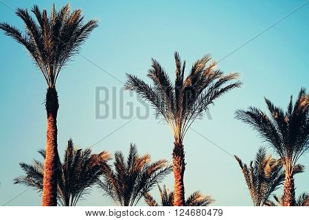 Date palm tops close up beautiful photo