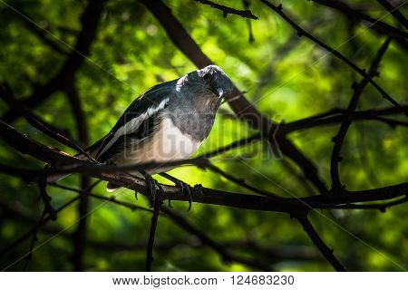 Oriental magpie-robin is a small passerine bird that was formerly classed as a member of the thrush family Turdidae but now considered an Old World flycatcher