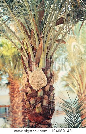 Date palm trunk with blossom close up beautiful  photo