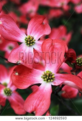 Pink Dogwood Blossoms in bloom during the spring.