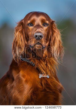 Portrait of dog. Irish Red Setter