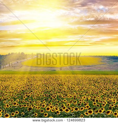 Sunflower field against a dramatic sky at sunset
