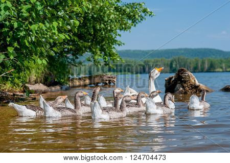 A flock of geese swimming in the river