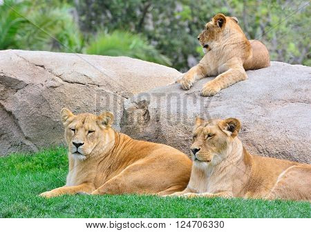 Lionesses Lying On Green Grass