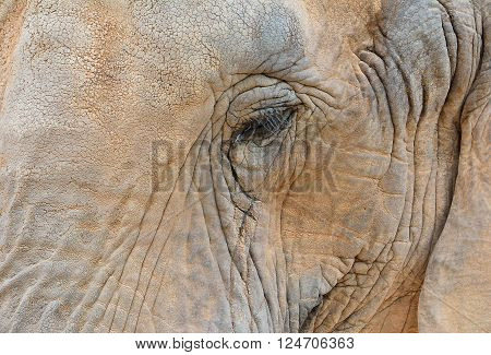 Close-up Of Elephant Eye