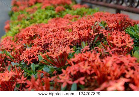 Pattern Of Red Ixora Flower, Red Pattern