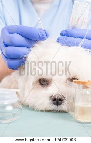 Vet doing acupuncture treatment on dog's head