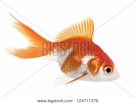 red goldfish in aquarium in front of white background