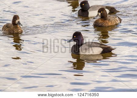 Greater Scaup male and female swimming in the lake