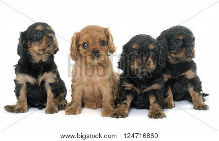 puppies cavalier king charles in front of white background