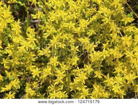 Fresh yellow Hypericum perforatum flowers close up view
