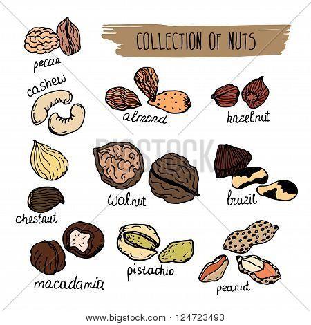 Hand drawn detailed nuts isolated on white background. Macadamia, cashew, almond, Brazil nut, pistachio, hazelnut, walnut, peanut, etc.