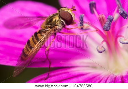 Macro shoot of Gold little Wasp sniffing Flower Petals