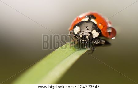 Lady Bug, on blade of grass, with water droplet