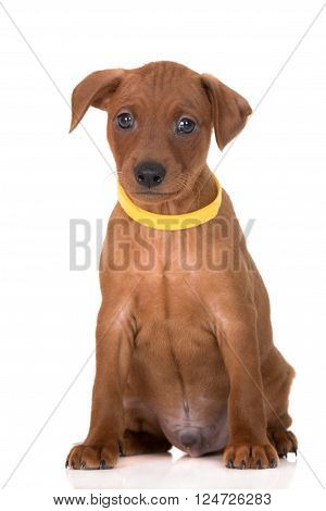 adorable red miniature pinscher puppy on white