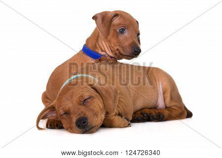 red miniature pinscher puppies on white background