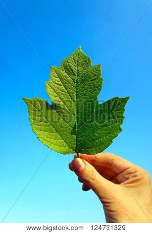 Green Leaf in the Hand on the Sky Background