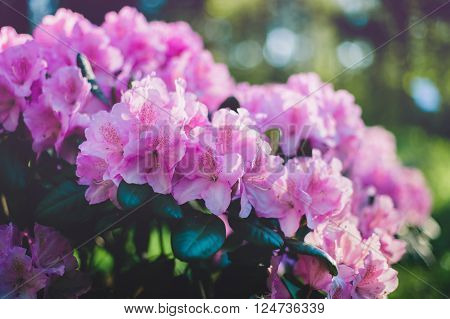 Close up image of blooming purple rhododendron