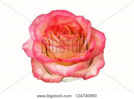 rose flower bud isolated on white background. clipart rose flower.
