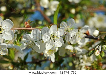 Beautiful cherry tree with fresh balmy blossom