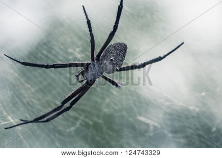Close Up of Asian White Back Spider