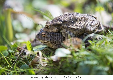 Portait of a pair of mating Common Toad during spring migration