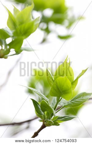 Fresh leaves in spring time