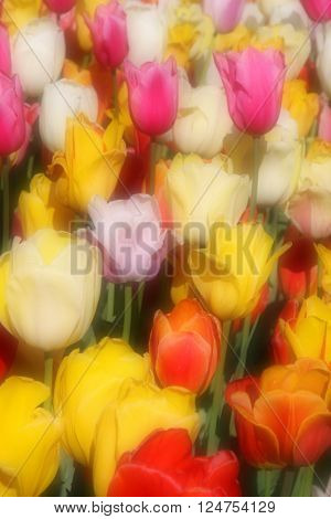 Colorful tulips with fog filter