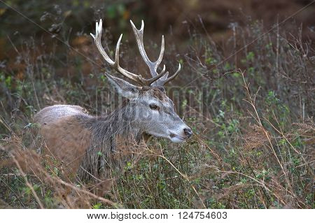 Red Deer Stag (Cervus Elaphus) in long grass at the edge of forest