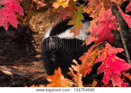 Striped Skunk (Mephitis mephitis) Peeks Out from Leaves - captive animal