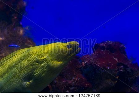 This is marine moray predator in the big aquarium.