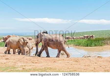 A large group of mud colored elephants at a waterhole. The genitals of a young bull is visible