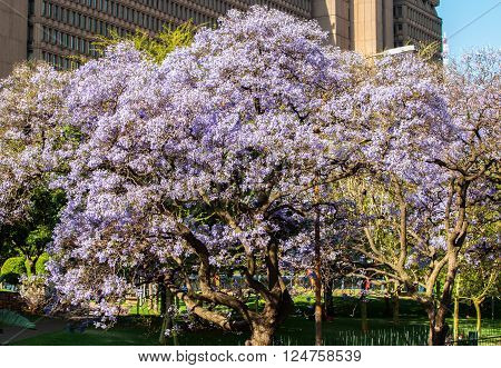 Blooming jacaranda trees in Johannesburg South Africa
