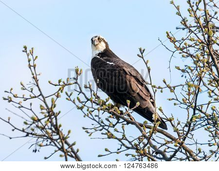 Osprey in a tree during Spring with budding leaves