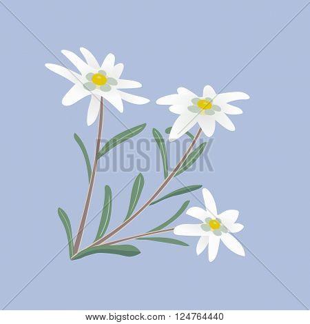 Edelweiss flowers. Alpine white  flowers. Vector illustration.