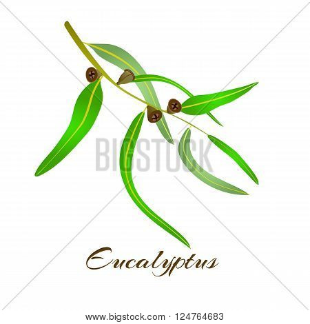 Vector illustration of eucalyptus leaves and seeds.