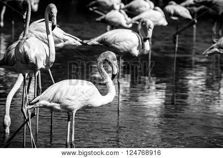Pink big bird Greater Flamingo (Phoenicopterus ruber) in the water Camargue France